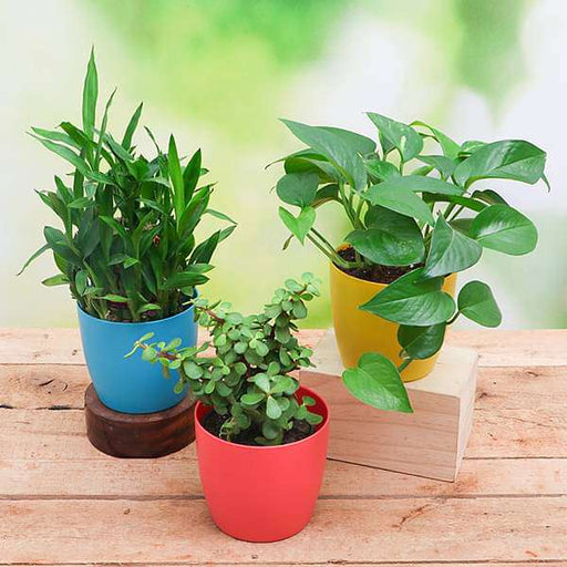 Lohri Special Plants for Good Luck - Nurserylive