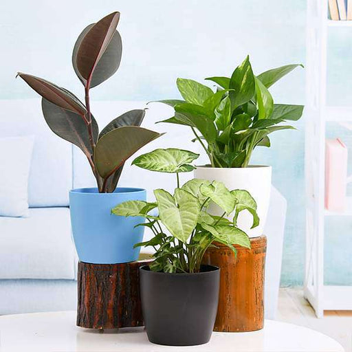 Low Maintenance Indoor Plants for Home Decoration - Nurserylive