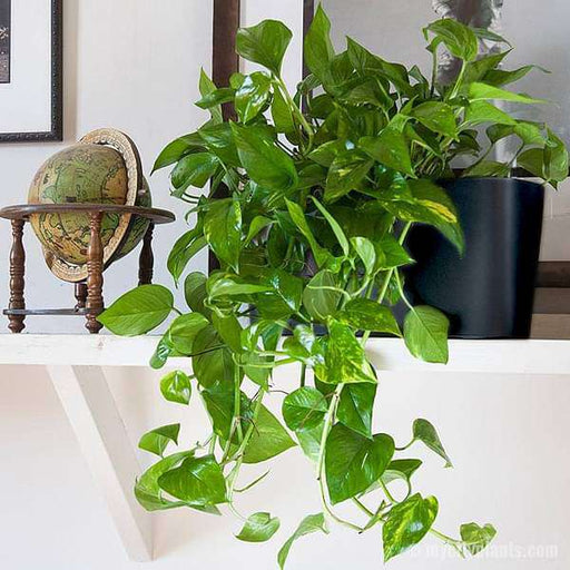 Luck and money spinning plant for office decor - Nurserylive