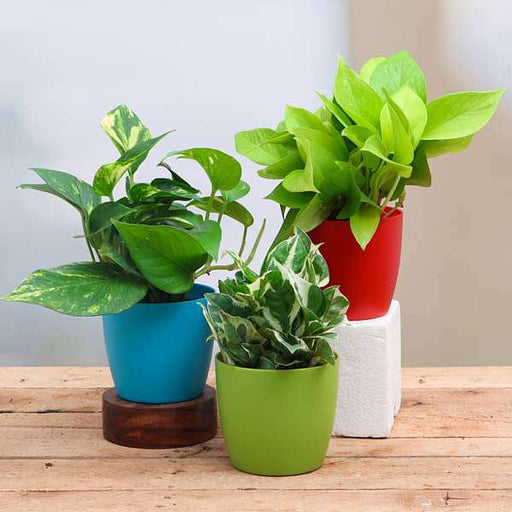 Money Plant, Scindapsus ( Pack of 3) - Plant - Nurserylive
