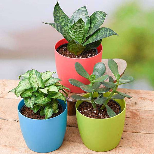 Mood Booster / De-stress Table Top / Office Desk Plants - Nurserylive