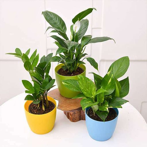 NASA Recommended Table Top / Office Desk Plants - Nurserylive