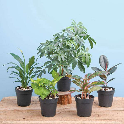 NASA Top 5 Indoor Plants for Oxygen - Nurserylive