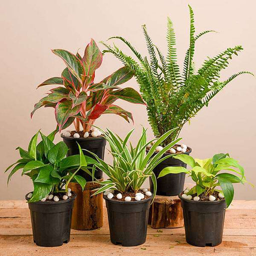 Natural Air Purifier Plants for Summer Cooling - Nurserylive