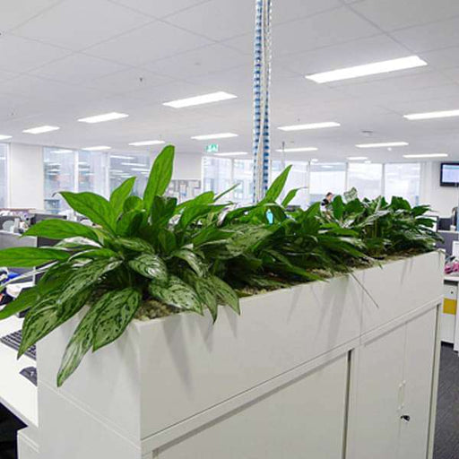 Office furnishing with low maintenance Aglaonema plants - Nurserylive