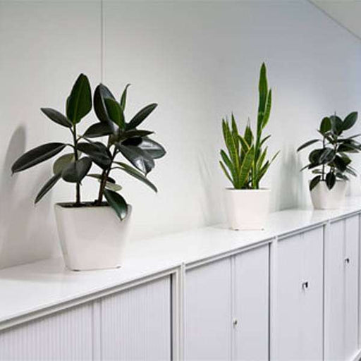 Oxygen giving plants for office - Nurserylive