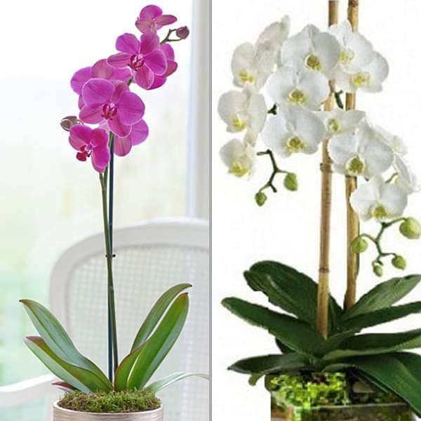 Pack of 2 pretty Phalaenopsis Orchid plants - Nurserylive