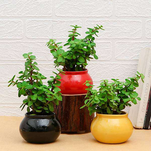 Pack of 3 Good Luck Jade Plants in Ceramic Pots - Nurserylive