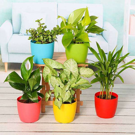Plant Pack For Healthy Home-Office - Nurserylive