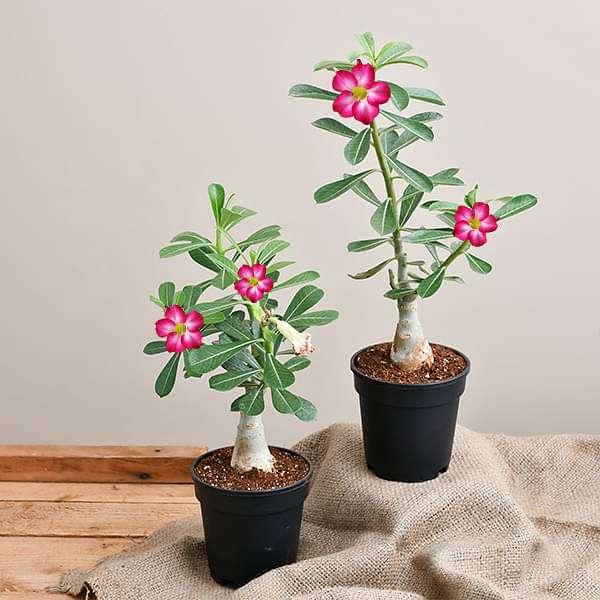 Set of 2 Bonsai Looking Grafted Adeniums - Nurserylive