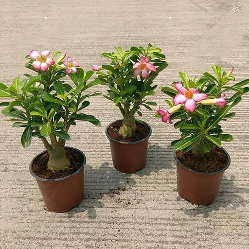 Set of 3 Bonsai looking Adenium Plants - Nurserylive