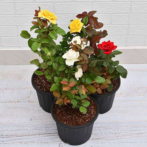 Set of 3 Love Rose Plants Pack - Nurserylive