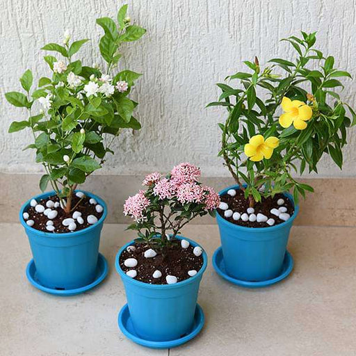 Set of 3 Outdoor Flowering Plants for Beautiful Garden - Nurserylive
