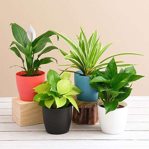 Set of 4 Goodluck Plants for House - Nurserylive