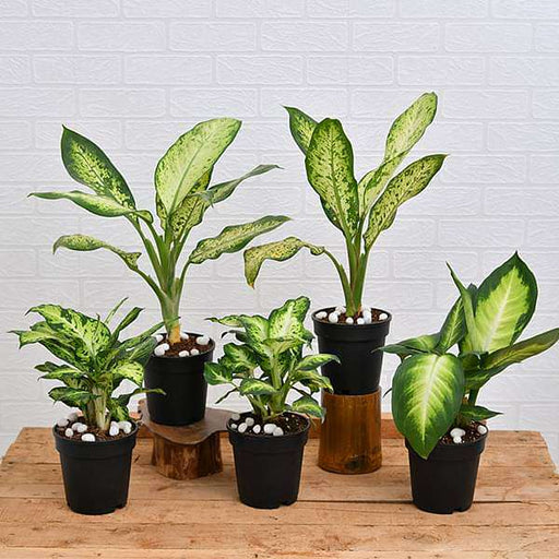 Set of 5 Dieffenbachia for Indoor Plant Decoration - Nurserylive