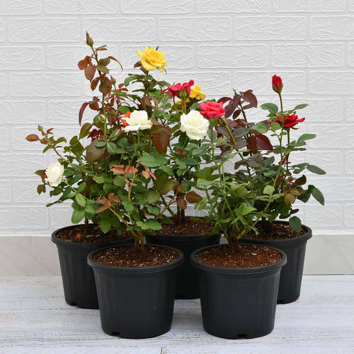 Set of 5 Enchanting Roses - Nurserylive