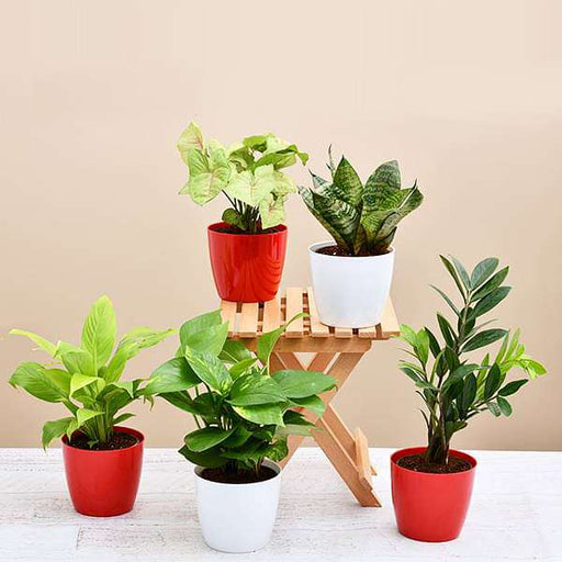 Set of 5 Plants to Promote Happiness and Joy - Nurserylive