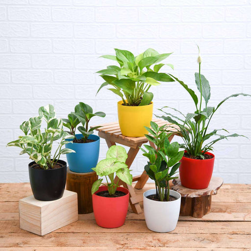Set of 6 Plants for Healthy and Refreshing Day - Nurserylive