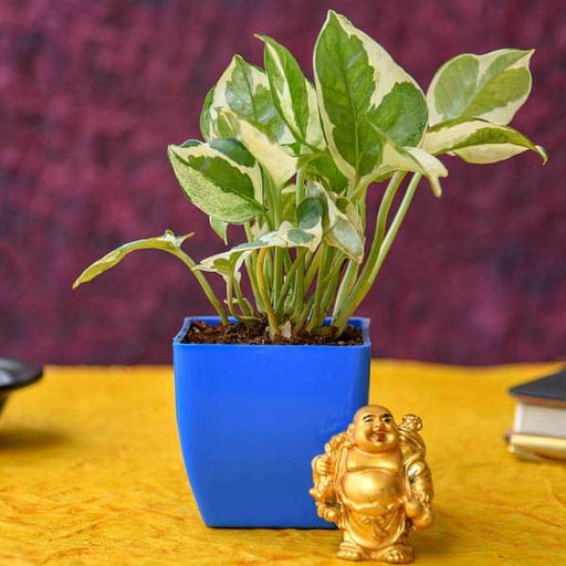 Share Happiness with Laughing Buddha and Money Plant - Nurserylive
