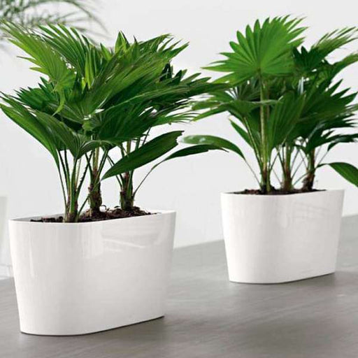 Table palms for office decoration - Nurserylive