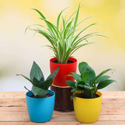 Top 3 Air Purifier Plants Pack - Nurserylive