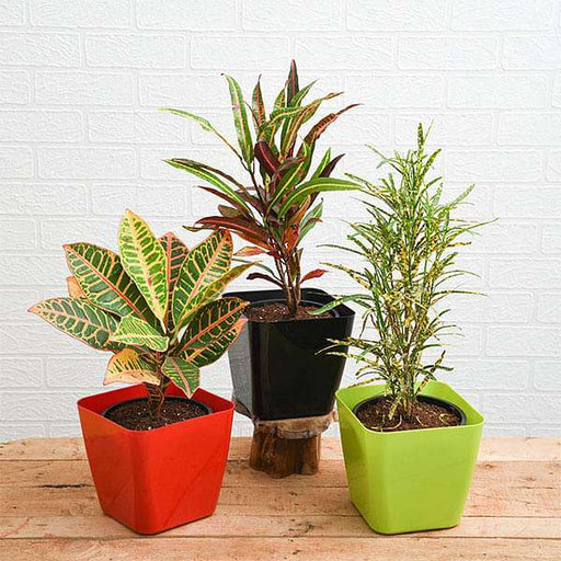 Top 3 Croton Plants Pack - Nurserylive