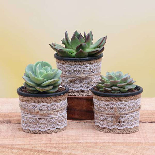 Top 3 Exotic Succulents Plant Pack - Nurserylive