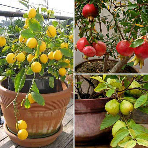 Top 3 Fruit Plants to Grow in Pots - Nurserylive
