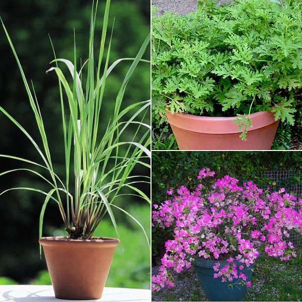 Top 3 Mosquito Repellent Plants - Nurserylive