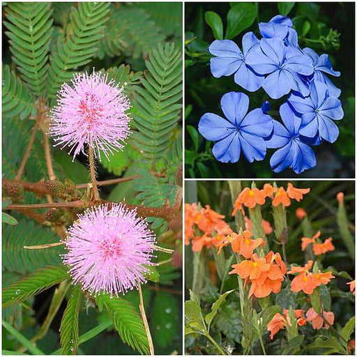Top 3 Wonder Plants Pack - Nurserylive
