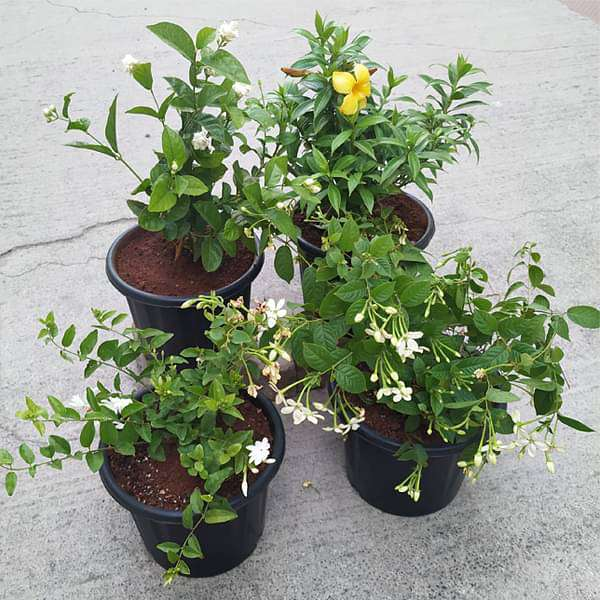 Top 4 All Year Flowering Plants Pack - Nurserylive