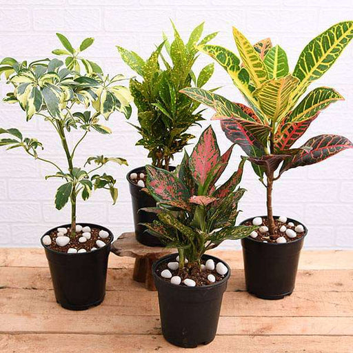 Top 4 Colorful Foliage House Plants for Indoor Decoration - Nurserylive