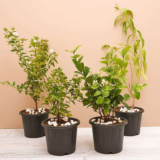 Top 4 Jasmine Flowering Plants for Fragrance - Nurserylive