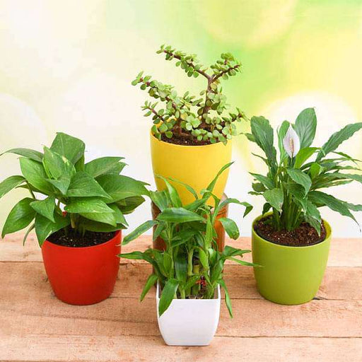 Top 4 Plants to Bring Goodluck and Prosperity - Nurserylive
