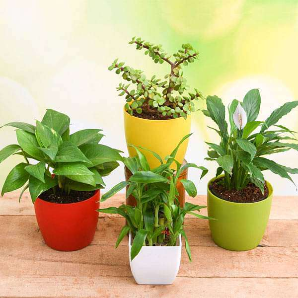 Buy Top 4 Plants to Bring Goodluck and Prosperity online from Nurserylive  at lowest price.