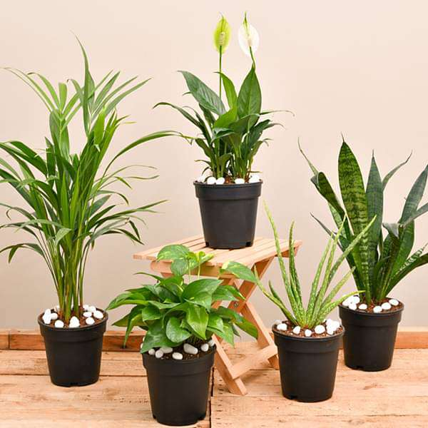 Top 5 air purifier and oxygen enriching plant pack