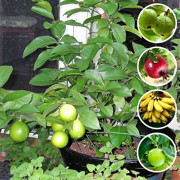 Top 5 Fruits Plants to Grow in Pot - Nurserylive