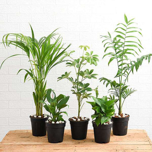 Top 5 Indoor Garden Plants to Remove Air Toxins - Nurserylive