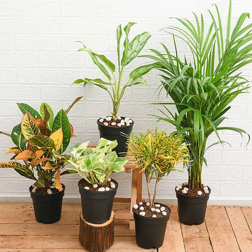 Top 5 Monsoon Special Foliage Plants for Home Decor - Nurserylive