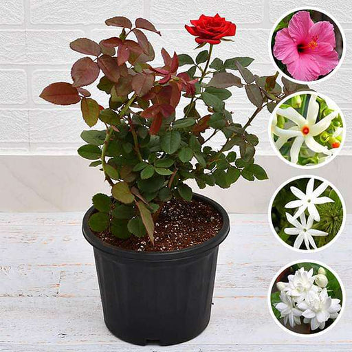 Top 5 Multipurpose Flowering Plants For Beauty - Nurserylive