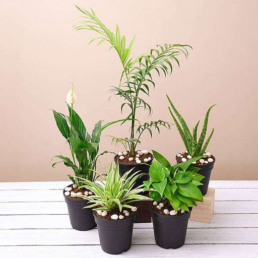 Top 5 Oxygen Bomb Plants Pack - Nurserylive