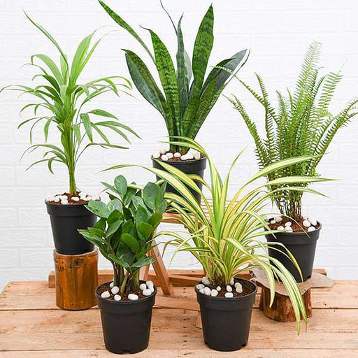Top 5 Plants for Decoration on Auspicious Occasion - Nurserylive