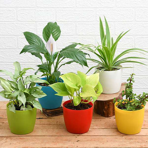Top 5 Plants for Healthy and Prosperous New Year - Nurserylive