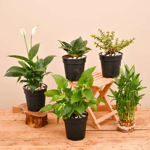 Top 5 Plants to Bring Goodluck - Nurserylive
