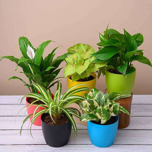 Top 5 Pollution Killer Plants Pack - Nurserylive
