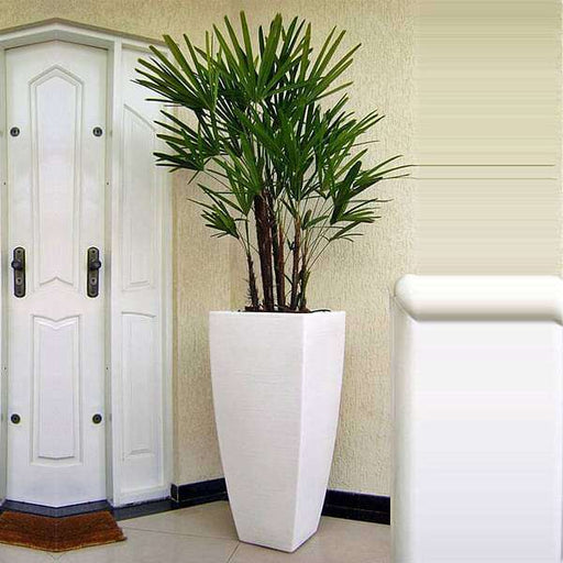 Vibrant Lady Palm for office - Nurserylive