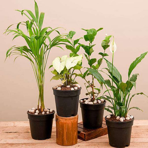 Winter Special Top 4 Air Purifier Plants Pack - Nurserylive