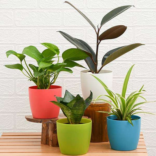 World Environment Day Special (4 Plants Pack) - Nurserylive