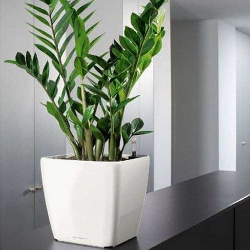 Zero maintenance ZZ plant for office - Nurserylive