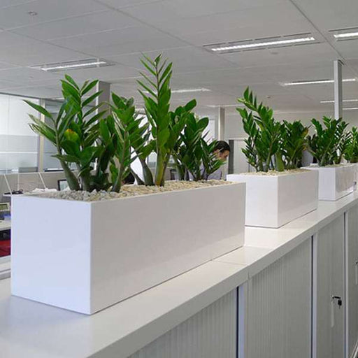 Zero maintenance ZZ plants for office boundary - Nurserylive